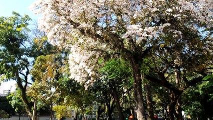 Ipês brancos forram calçadas em Campinas