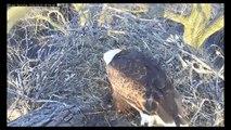 MNBound Eagles ~ Eaglets ~ Duck Egg ~ Squirrel ~ Grasses ~ 6-8 a.m.  04-20-2014