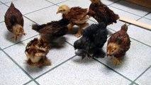 3 week old bantam chicks