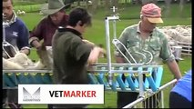 Lamb Docking Contractor Farmer Lamb marking, lamb docking and lamb tailing