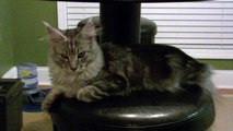 Maine Coon Kitten Sean Coonery Doing What He Does Best