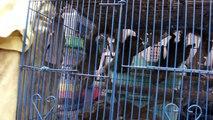 Animal Abuse in Indonesia - Pasar Burung Market in Denpasar - Bali (Bird Market)