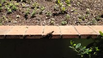 A local Fence Lizard, Blue-belly, Sceloporus Occidentalis, doing its push ups for me!