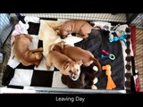 Millie & Dexter's Pups - Lexi's leaving day - KARATE FUN (Staffordshire Bull Terriers)