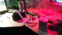 Crested Gecko-vs-Leopard Gecko