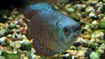 Tropical Fish  - Neon Blue Dwarf Gourami for sale at Tyne Valley Aquatics