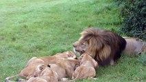 Lions eating warthog