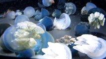 Blue Blubber Jellyfish- Baltimore National Aquarium