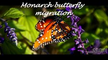 Unbelievable Monarch butterfly migration !