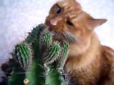 кот ест кактус. cat eating cactus