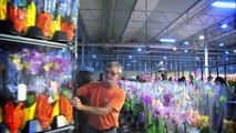 Just Add Ice Orchids Grading & Sorting System