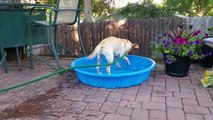 Ce labrador veut remplir sa piscine mais c'est pas gagner!