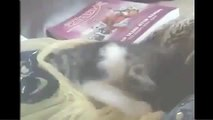 Funny Cat Videos Compilation Funny Cats Video Funny Animals funny cat vines cat vines 2014