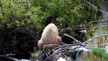 Teddy Bears' Picnic - Bear Sighting at Lake Tahoe