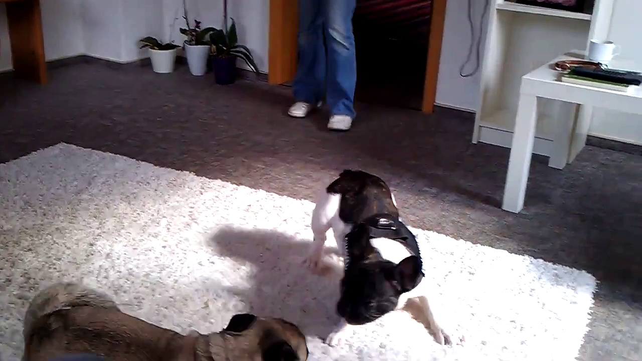 Pug vs. Frenchie