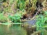 Nutrias en el río Deza, Silleda