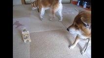 おもちゃの柴犬に味方する柴犬ちゃめ Shiba Inu Chame takes the part of Shiba Inu Toy   YouTubeエンタメウィーク
