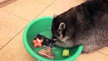 Un raton laveur lave des objets dans une bassine