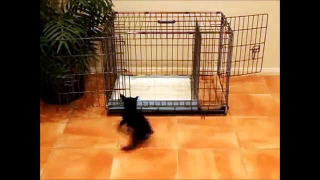 How To Potty Train A Cheagle Puppy - Cheagle House Training Tips - Housebreaking Cheagle Puppies