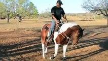 ZEUS APHA reg BAY STALLION / STUD AMERICAN PAINT HORSE TOBIANO PAINT