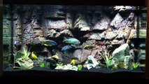 Malawi Haps / Peacocks All-Male Show Tank