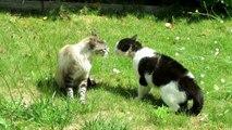 FIGHTING CATS / bagarre de chats