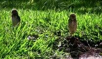 Coruja ataca cachorro - Brasilia - Owl attacks a dog - HD