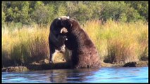 Alaska Grizzly Bears Fighting | Alaska Brown bears wrestling