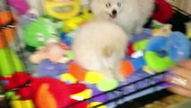 OMG Cutest Puppies Ever - TeaCup Pomeranian Los Angeles