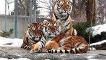 Invasion de bébé au Zoo de Granby! Nos 3 bébés tigres de l'Amour!