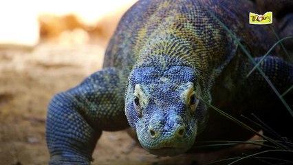 Le Varan de Komodo, un Dragon solitaire !