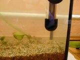 Female guppy giving birth