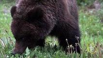 Grizzly Bears (Ursus arctos horribilis) in Banff National Park