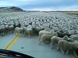 Driver stuck amid a large herd of sheep and trying to pass them slowly.