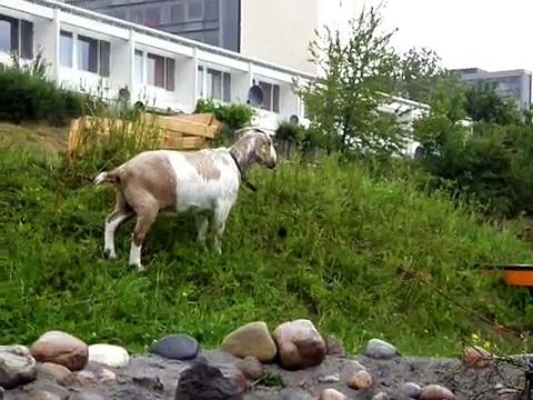 It's raining goats
