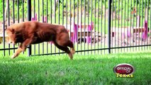 Houston Chow Chow Connection - Best Chow Rescue - Texas 2015