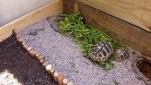 Griechische Landschildkröte - Testudo hermanni - Auf dem Balkon / na balkonie