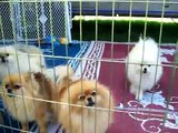 Barking, Pomeranian Dogs, Singing, funny, cute, lots of puppies