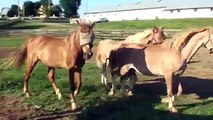 Herd of mares for sale Cedar Winds Farm American Saddlebred Horses