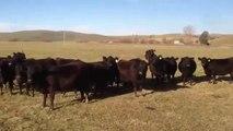 Chicas 'hipnotizan' cantando a todas estas vacas