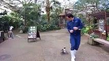 Sahibinin peşinden koşan sevimli penguen