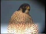 Peregrine Falcon (Falco peregrinus) ad female Sweden 1995