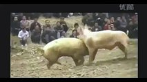 RAW Thousands Watch Two PIGS Fight to The DEATH in BRUTAL Chinese Sport