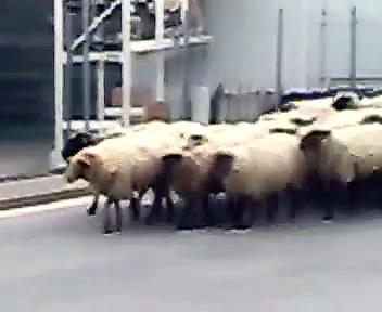 German sheep