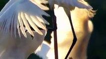 Little egret. Цапля малая белая. Egretta garzetta