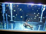 Red Alenquer Discus Fry