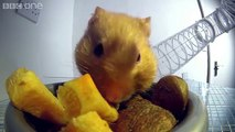 Inside a hamster's cheeks _ Pets - Wild at Heart_ Episode 1 Preview _ BBC One