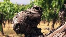 Vins : les cépages de Béziers Méditerranée