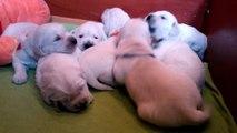 "Puppies Golden Retriever from litter ""D"" kennel ANIMALS TRIUMPH - 2 weeks"