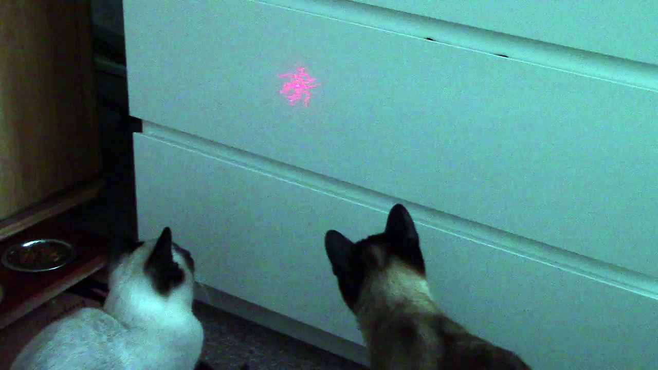 Siamkatze spielt mit einem Laserpointer – Amazing cute Siamese cat playing with a laser pointer